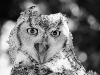 long eared owl close up with beak open