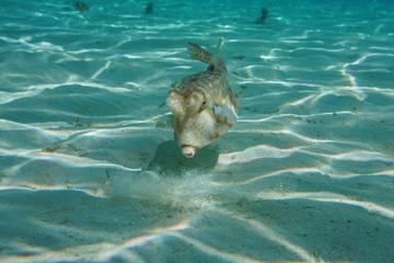 A tropical fish longhorn cowfish, Lactoria cornuta, underwater in the lagoon of Bora Bora, Pacific ocean, French Polynesia