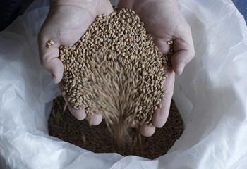 Tscheuschner owner of Schorschbraeu brewery holds wheat malt at brewery in Gunzenhausen
