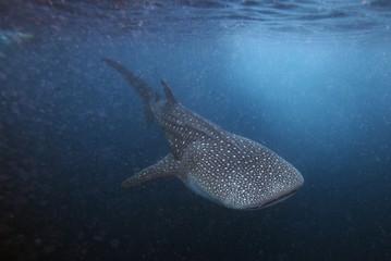 A  six meter whale shark swims just outside Hanifaru Bay of Maldives' remote Baa Atoll