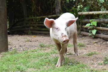 un cerdo de campo