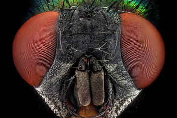 Full frontal portrait of a common green bottle fly magnified through a microscope objective..Real life frame width is 2.2mm