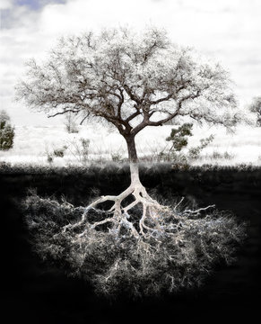 Tree Roots: Concept is strong foundation and roots, family, health, mental health, growth and success in  wealth.