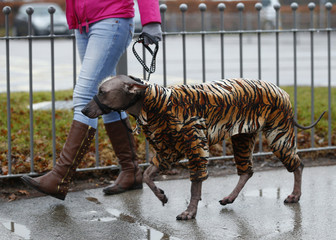 A dog arrives wearing a tiger print coat during the first day of the Crufts Dog Show in Birmingham