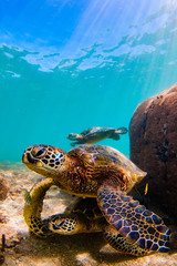 Fototapete - Endangered Hawaiian Green Sea Turtle swimming in the warm waters of the Pacific Ocean in Hawaii