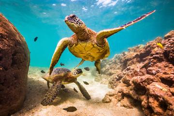 Hawaiian Green Sea Turtle swimming in the warm waters of the Pacific Ocean in Hawaii