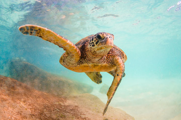 Fototapete - Hawaiian Green Sea Turtle swimming in the Pacific Ocean of Hawaii