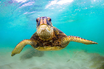 Hawaiian Green Sea Turtle swimming in the Pacific Ocean of Hawaii