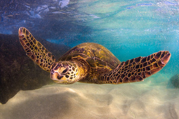 Endangered Hawaiian Green Sea Turtle swimming in the warm waters of the Pacific Ocean in Hawaii