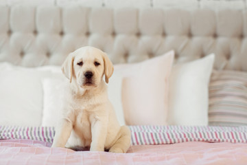Labrador puppy sit on the bed