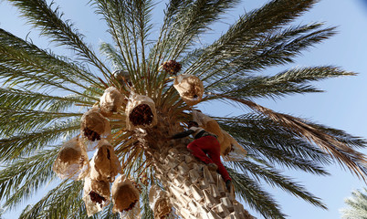 Youth collects dates from a palm tree at a farm in Jemna, southern Tunisia