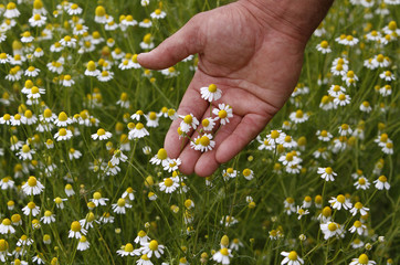 Employee checks a chamomile plantation at a private farm near the village of Putchino