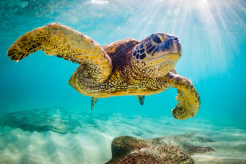 Photo sur Aluminium Tortue An endangered Hawaiian Green Sea Turtle cruises in the warm waters of the Pacific Ocean in Hawaii.