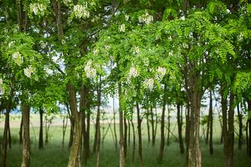 Pseudo acacia (black locust) trees
