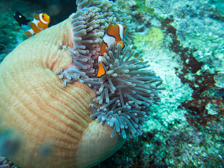 Anemonefish in anemone home