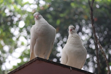 White Pigeons on the roof