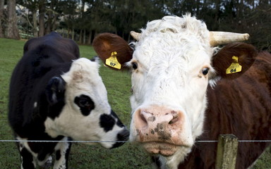 File photo of cows near the fence of a pastoral farm near Auckland