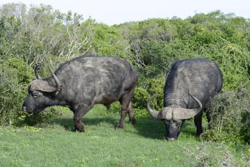 Cape Buffalo foraging, Addo Elephant National Park