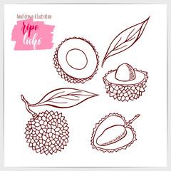 Vector illustration of hand drawn lichi fruit.