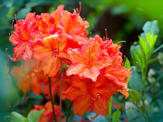 Orange azalea blooming in the garden