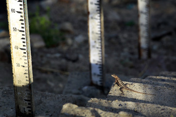 A lizard looks at a water level indicator at Camatagua water reservoir