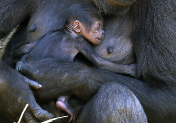 A Western Lowland Gorilla named Mbeli holds her baby in their enclosure at Sydney's Taronga Zoo