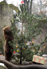 Kamchatka Brown Bear Mascha stands beside a Christmas tree, decorated with fruits and fish, at Hagenbecks zoo in Hamburg
