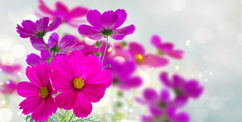 Cosmos fresh dark pink flowers and leaves banner