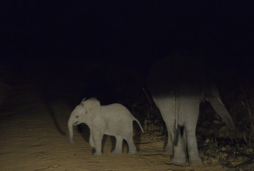 A young African elephant walks at night time near Pretoria, in South Africa