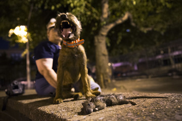 Merlin, a Border Terrier, stands over a dead rat he killed during an organized rat hunt on New York City's Lower East Side