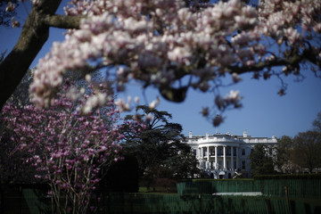 A magnolia tree blossoms on the South Lawn of the White House in Washington