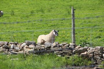Petit mouton blanc