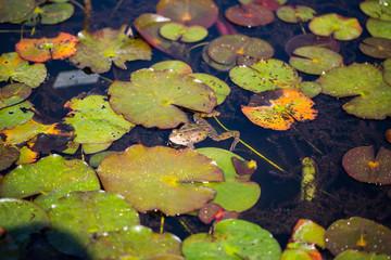 Frosch sitzt auf Seerosenblatt
