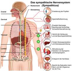 Das sympathische Nervensystem, Sympathicus