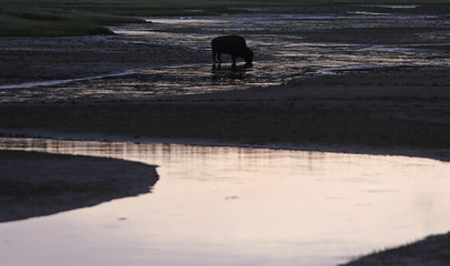 File photo of a bison grazing after sunset in Yellowstone National Park, Wyoming