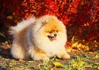 Red-haired German pomeranian lies on an autumnal background. Decorative light contented fluffy dog. An active puppy with a sticking tongue on the street. Sunny weather.