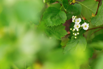 Natural blurred green  background with small tender white flowers hawthorn. Growled haw flowers on branch. Copy space. Soft focus. Card for celebrations.