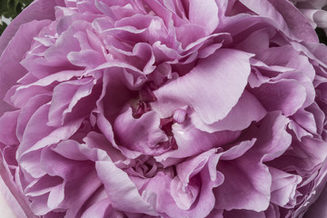 Smooth pink peony petals abstract texture