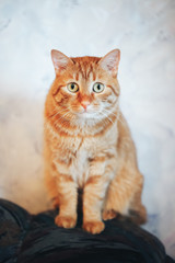 Ginger Red Cat Looking At