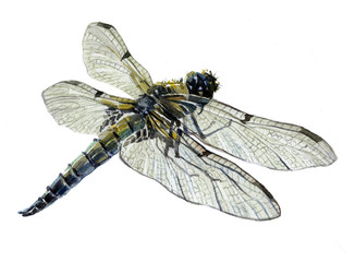 Watercolor single dragonfly insect animal isolated on a white background illustration.