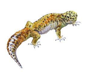 Watercolor single gecko animal isolated on a white background illustration.