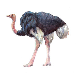 Watercolor single ostrich animal isolated on a white background illustration.