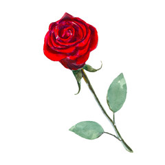 The red rose flower isolated on white background, watercolor illustration in hand-drawn style.