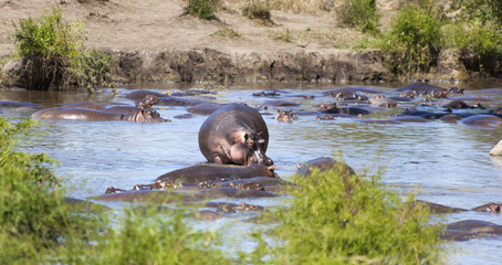 Hippo pool  -   Hippopotamus (Hippopotamus amphibious) in the wild somewhere in Tanzania Africa