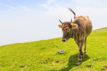 Highland Cow on a Field, Artvin, Turkey