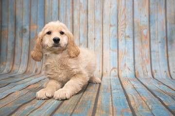 Goldendoodle on blue wooden background