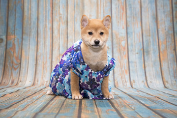 Shiba Inu on blue wooden background