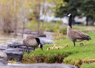 Canada geese protecting their goslings in a parc in Quebec, Canada.