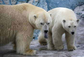 Couple of polar bears walk inside its enclosure at Royev Ruchey Zoo in Krasnoyarsk
