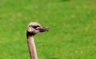 Ostrich looking to the side with its mouth open and showing attitude with and grass in the background. Space for text.